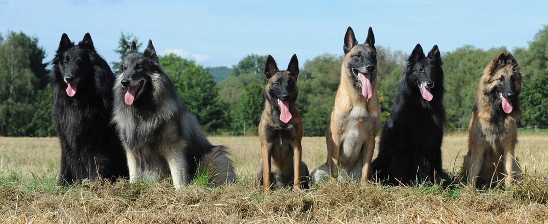 Belgische Schäferhunde